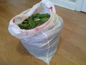 Huge bag of Swiss chard ready for sharing with my office, and making soup.